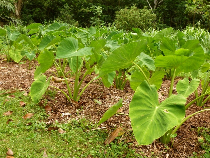 Taro_patch_mulched