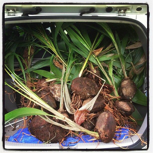 Aloha_aina_coconuts